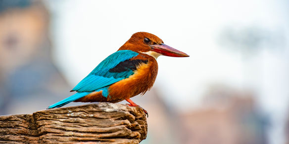 Kingfisher, India