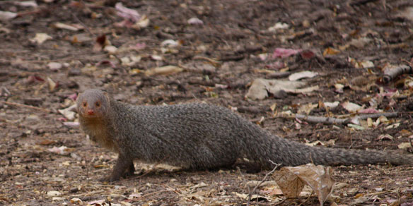 Mongoose, Gir National Park, Gujarat, India