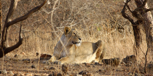 Wild Lion, Gir National Park, Gujarat, India