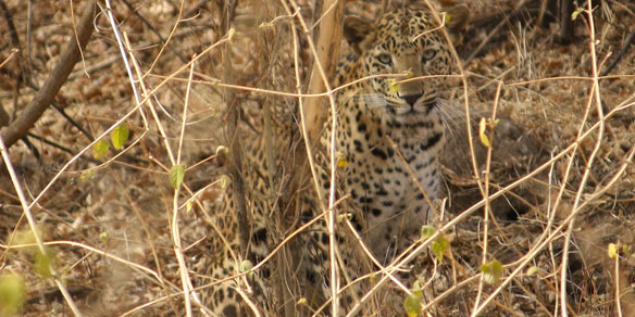 Wild Leopard, Gir National Park, Gujarat, India