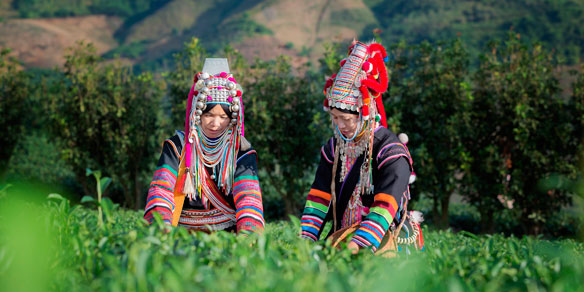 Akha Women picking tea leaves at Chui Fong , Chiang Rai, Thailand