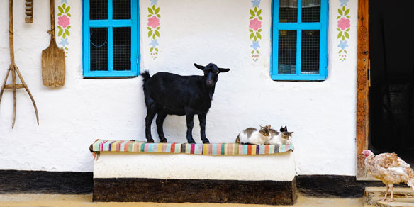 A Goat and a cat on the bench, Turkey