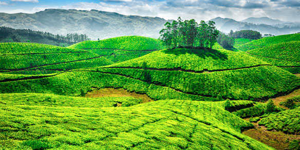 Green tea plantations, Munnar, Kerala, India