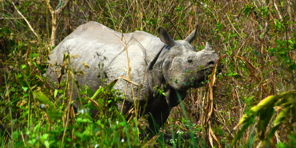 one horned rhino, Jaldapara National Park, India