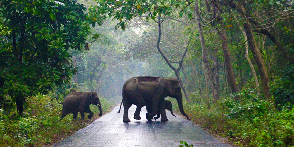 Wild Indian Elephants, Jaldapara National Park, India